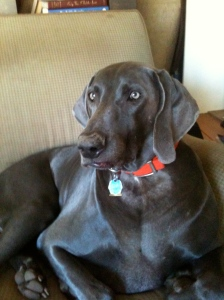 Weimaraners against Palo Alto animal shelter closure